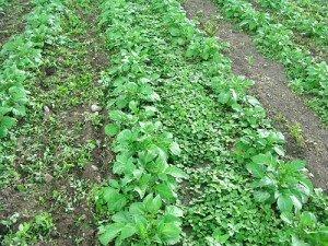 Как бороться с сорняками на картофеле